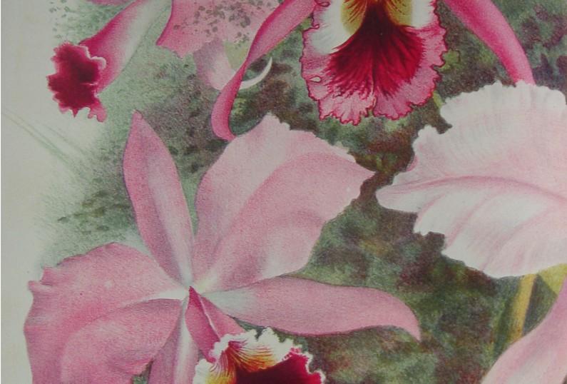 22 1Lindenia. Iconografia des orchidèes (2)