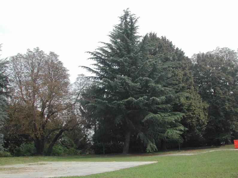 Un cedro dell'Atlante nel contesto vegetale del parco di Villa Crivelli Pusterla a Limbiate (Fototeca ISAL, Fotografia di Anna Zaffaroni)
