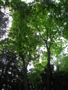 33D Acero di monte (1) fronde acero