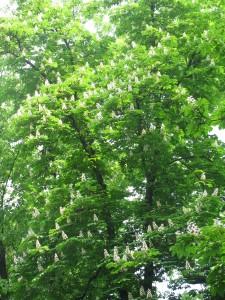 36D Ippocastano (2) fronde e fiori ippocastano