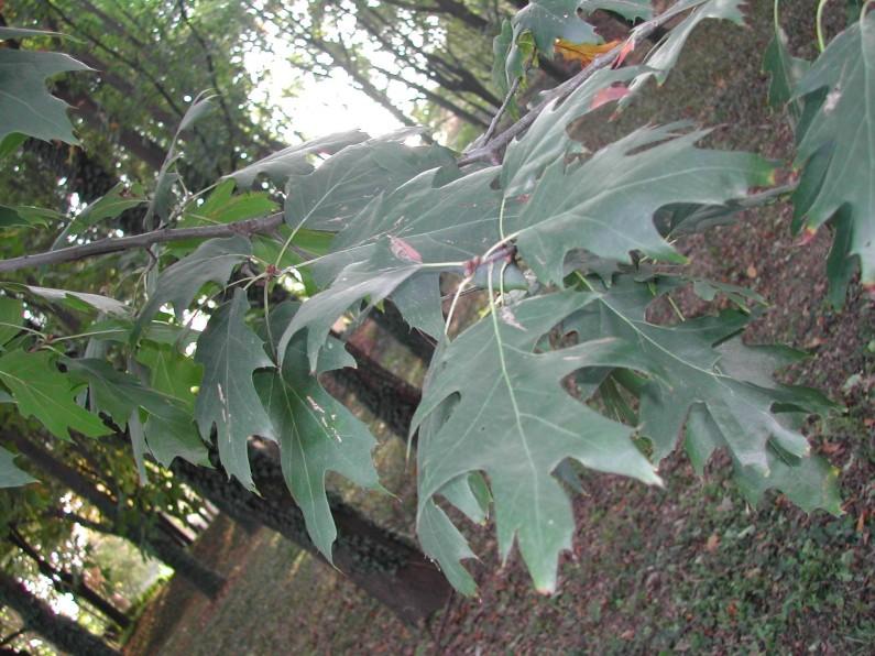 Particolare delle foglie di una quercia rossa del giardino di Villa Crivelli Pusterla a Limbiate (Fototeca ISAL, Fotografia di Anna Zaffaroni)