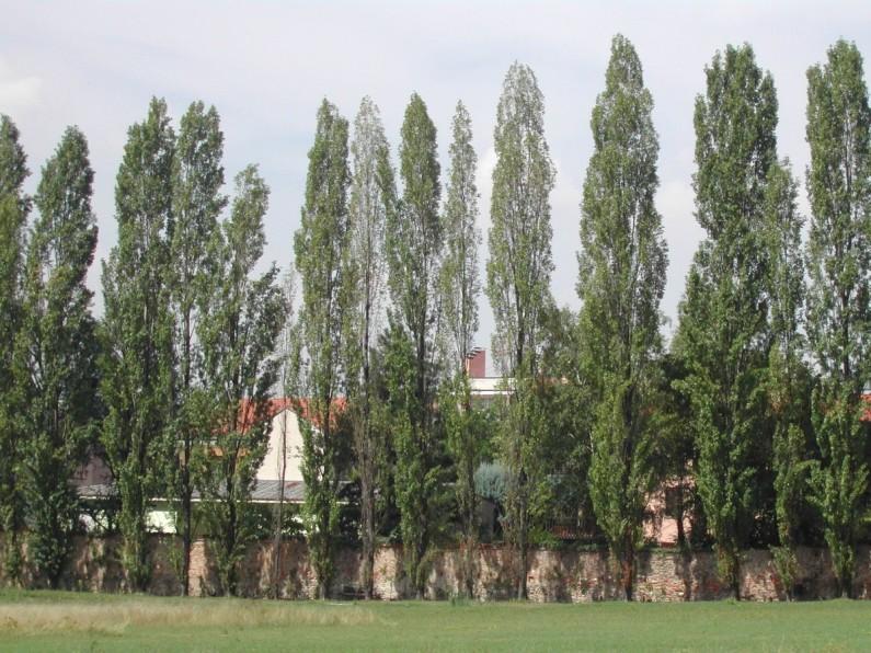 Pioppo cipressino (1)