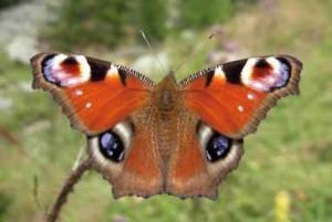 20SE Farfalle (5) Vanessa io